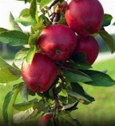 belle mele