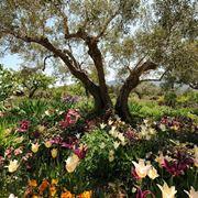 pianta di ulivo in giardino