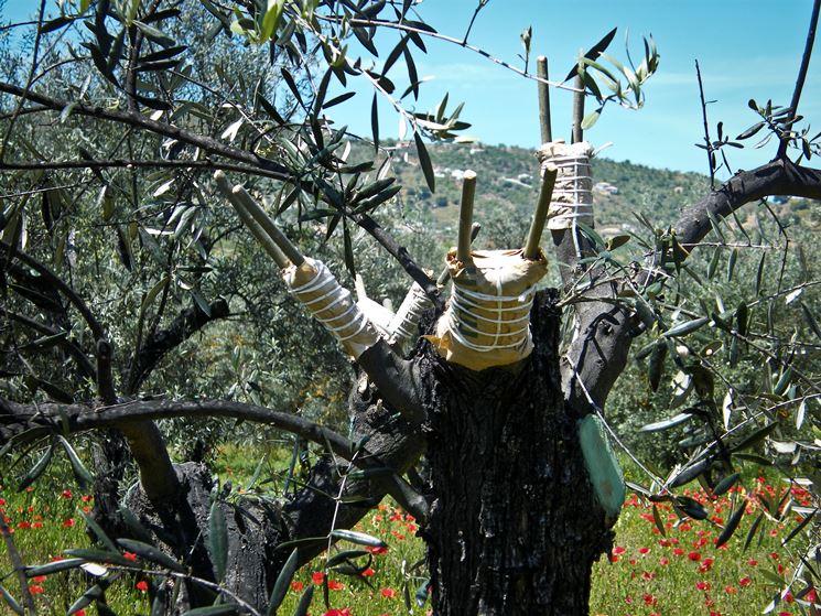 esempio di innesto ulivo