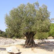 innesto olivo