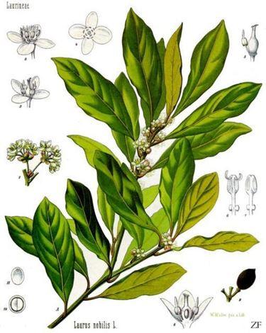 Composizione pianta di alloro   Fonte foto ( http://doctorschar.com )