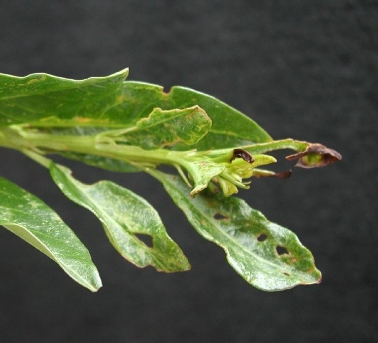 Danni sulle foglie di alloro  Fonte foto ( http://oregonstate.edu )