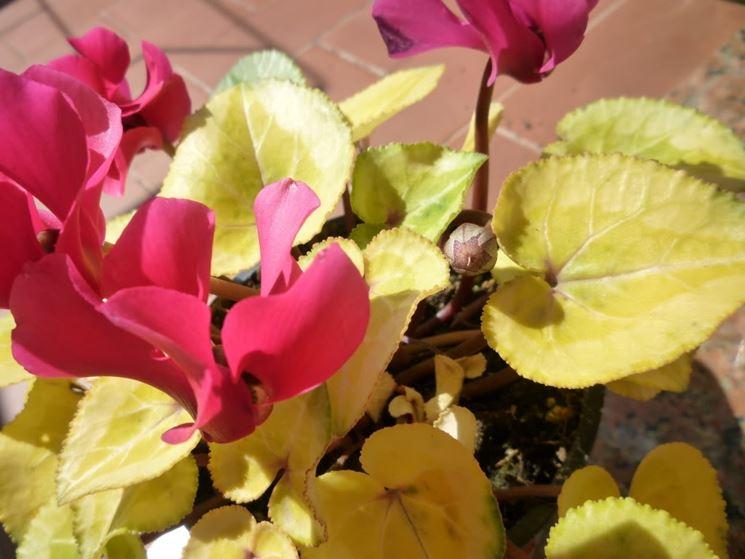 ciclamino con foglie gialle