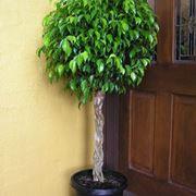 Malattie olivo malattie delle piante l 39 olivo e le sue for Ficus benjamin perde foglie