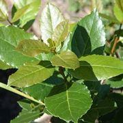 foglie lauroceraso