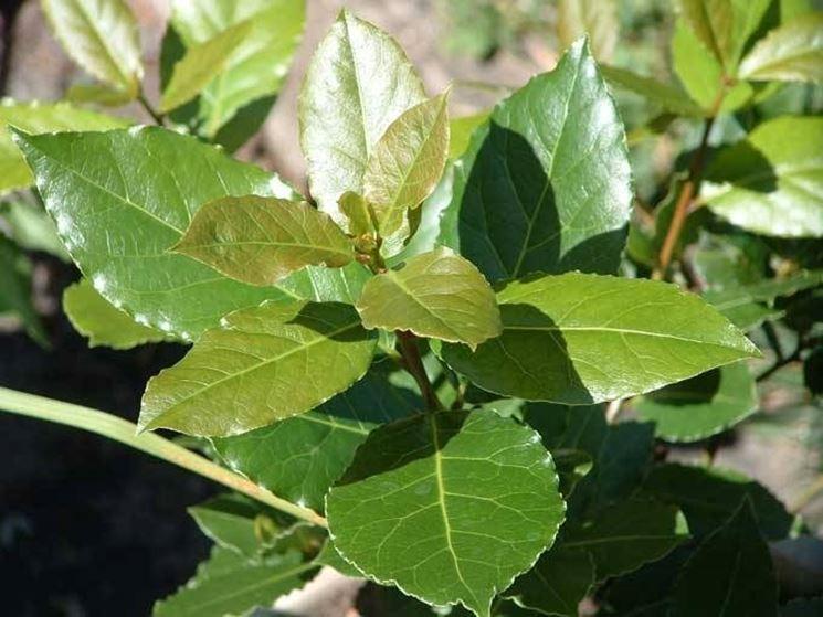 Lauroceraso malattie malattie delle piante le malattie for Lauroceraso malattie