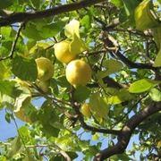 Malattie delle piante frutti - Malattie limone fumaggine ...