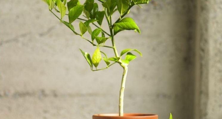 La cocciniglia della pianta di limone