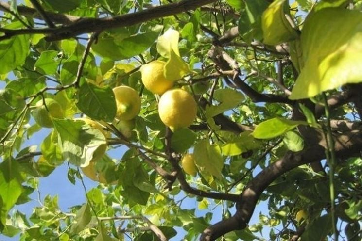 Limone malattie malattie delle piante malattie limone for Coltivare limoni