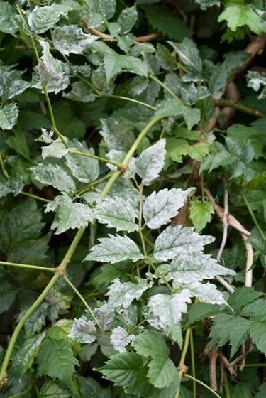 mal bianco foglie