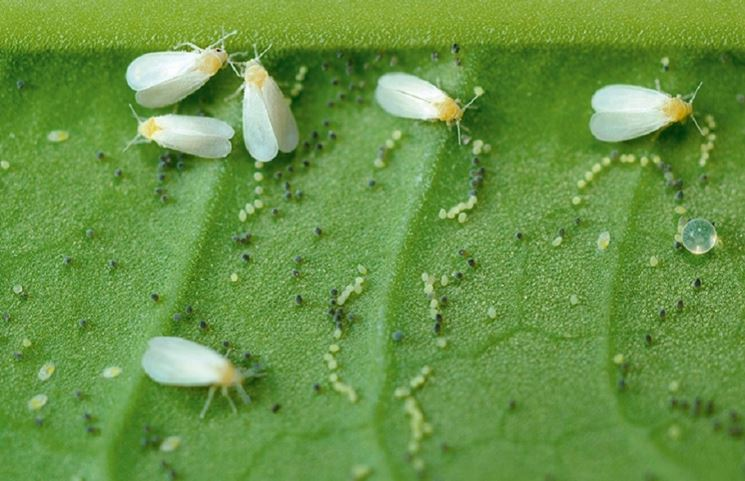 Infestazione mosche frutta
