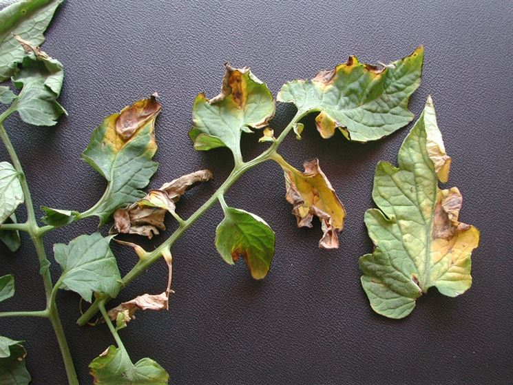 Malattia verticillium