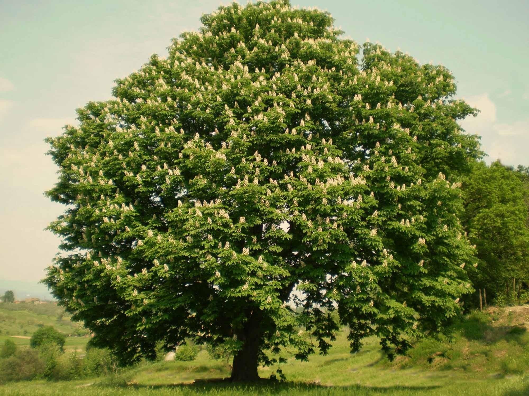 Malattie del castagno malattie delle piante conoscere for Alberi simili alle querce