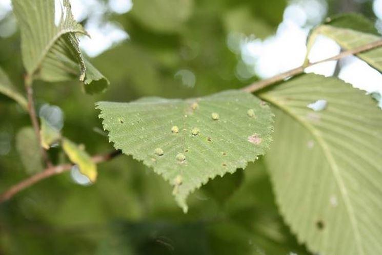 Malattie delle foglie