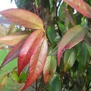 gelsomino foglie rosse