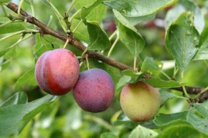 malattie delle piante da frutto malattie delle piante