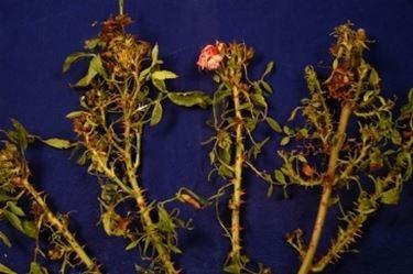 rose malate