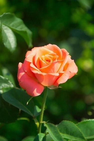 bellissima rosa in salute