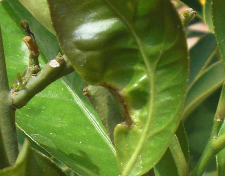Malattie limone malattie delle piante le malattie del for Pianta di limone