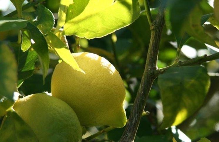 Limone malato
