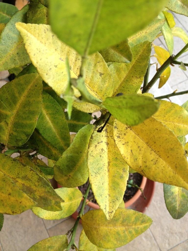 Malattie delle piante lauroceraso malattie malattie for Lauroceraso malattie