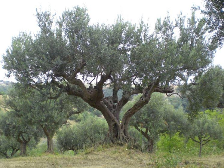 Malattie olivo malattie delle piante l 39 olivo e le sue for Pianta nocciolo prezzo