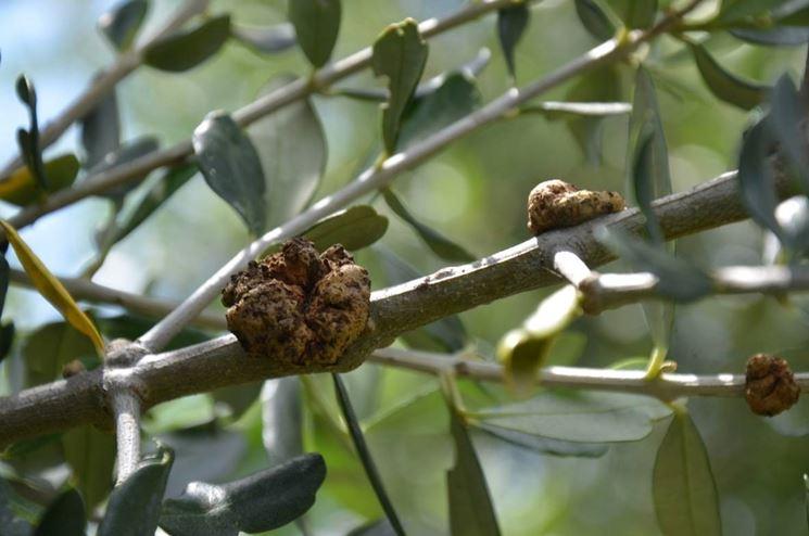 Rogna dell'olivo