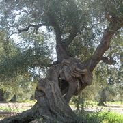 malattie olivo