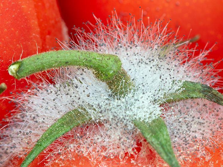 Muffa pomodoro