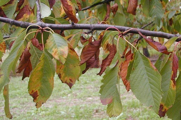 Monilia foglie