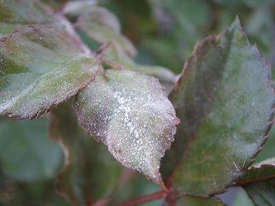 Oidio rose malattie delle piante for Malattie delle rose