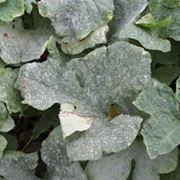 oidio su foglie