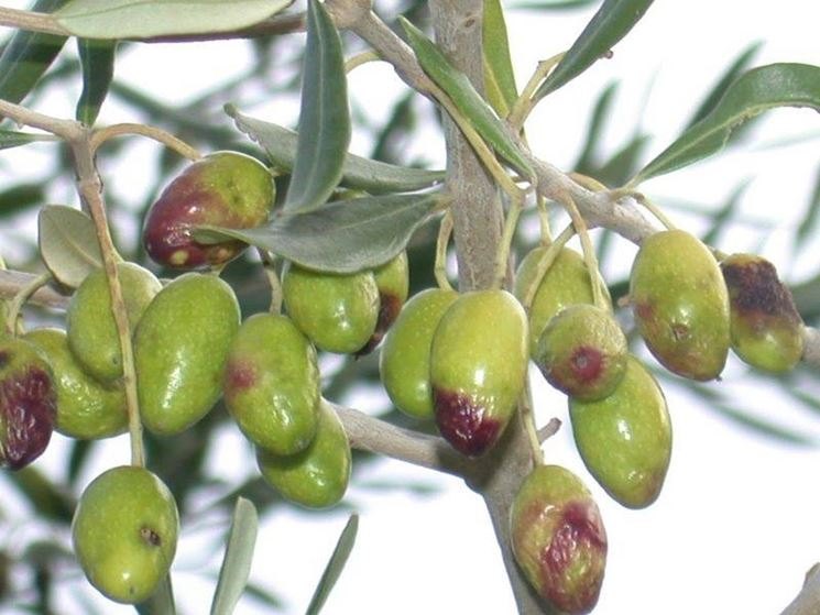 olive malate