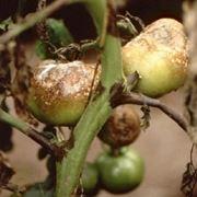 peronospora su pomodori