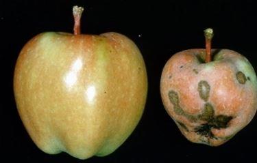 confronto mele