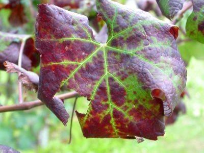 Virosi - Malattie delle piante