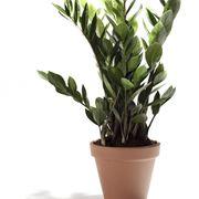 pianta di zamioculcas