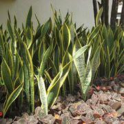 zamioculcas foglie gialle