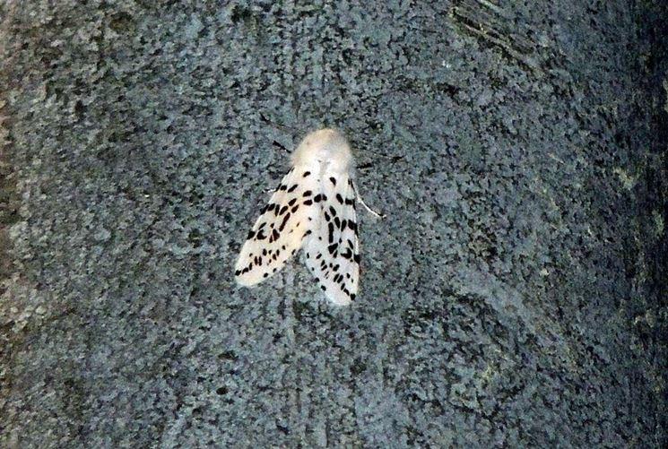 Farfalla di bruco americano