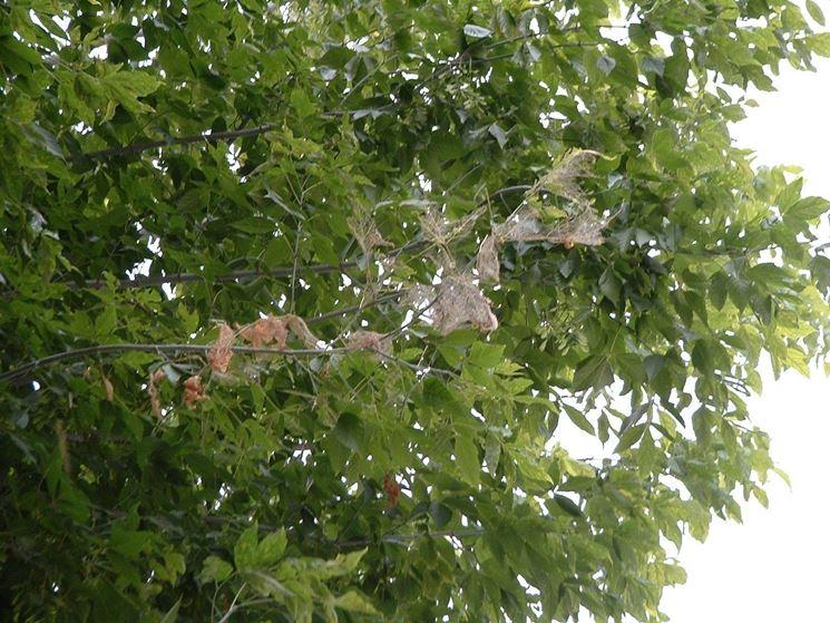 Infestazione da bruchi americani