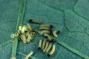 larve di cavolaia