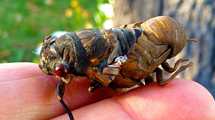 Involucro ninfale cicala