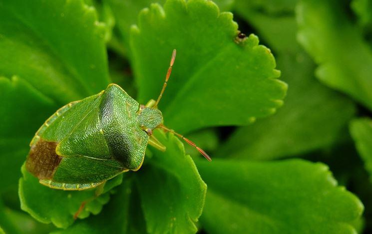 cimice verde insetto