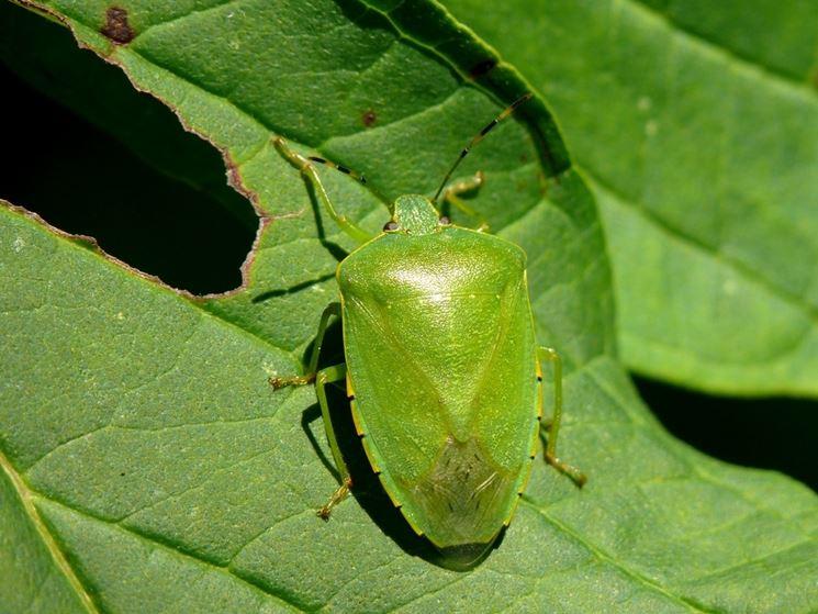 Adulto di cimice verde