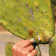 Cocciniglia su cactus
