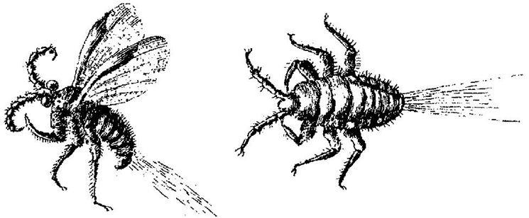 Maschio e femmina di cocciniglia