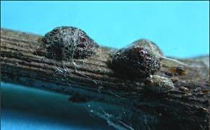 Cocciniglia parassiti delle piante cocciniglia parassita for Glicine bonsai prezzo