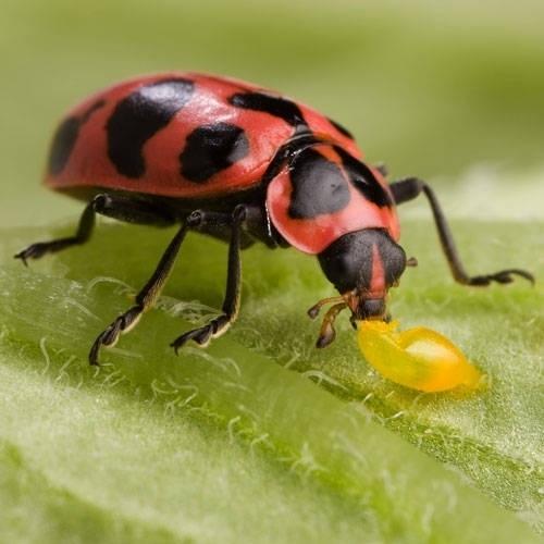 Bugs that look like ladybugs
