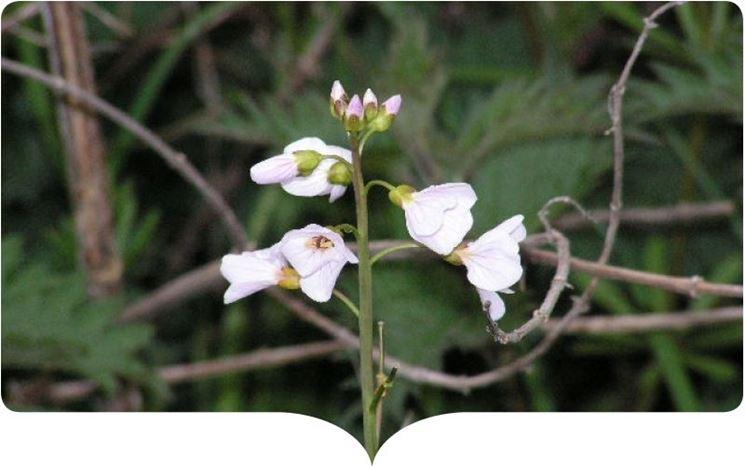 Pianta fiorita cuscuta