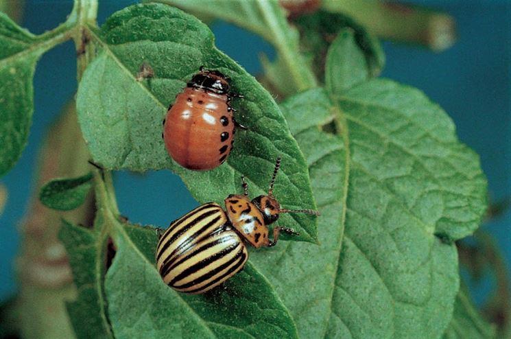 Larva e adulto di dorifera della patata